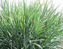 reed-canarygrass.jpg