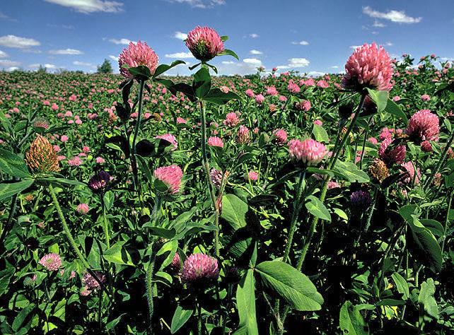 red-clover1.jpg