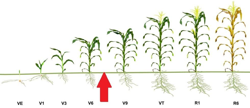 corn stages.jpg