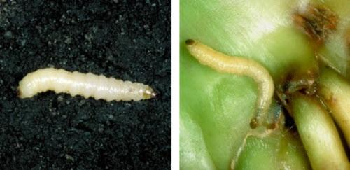 Corn Rootworm