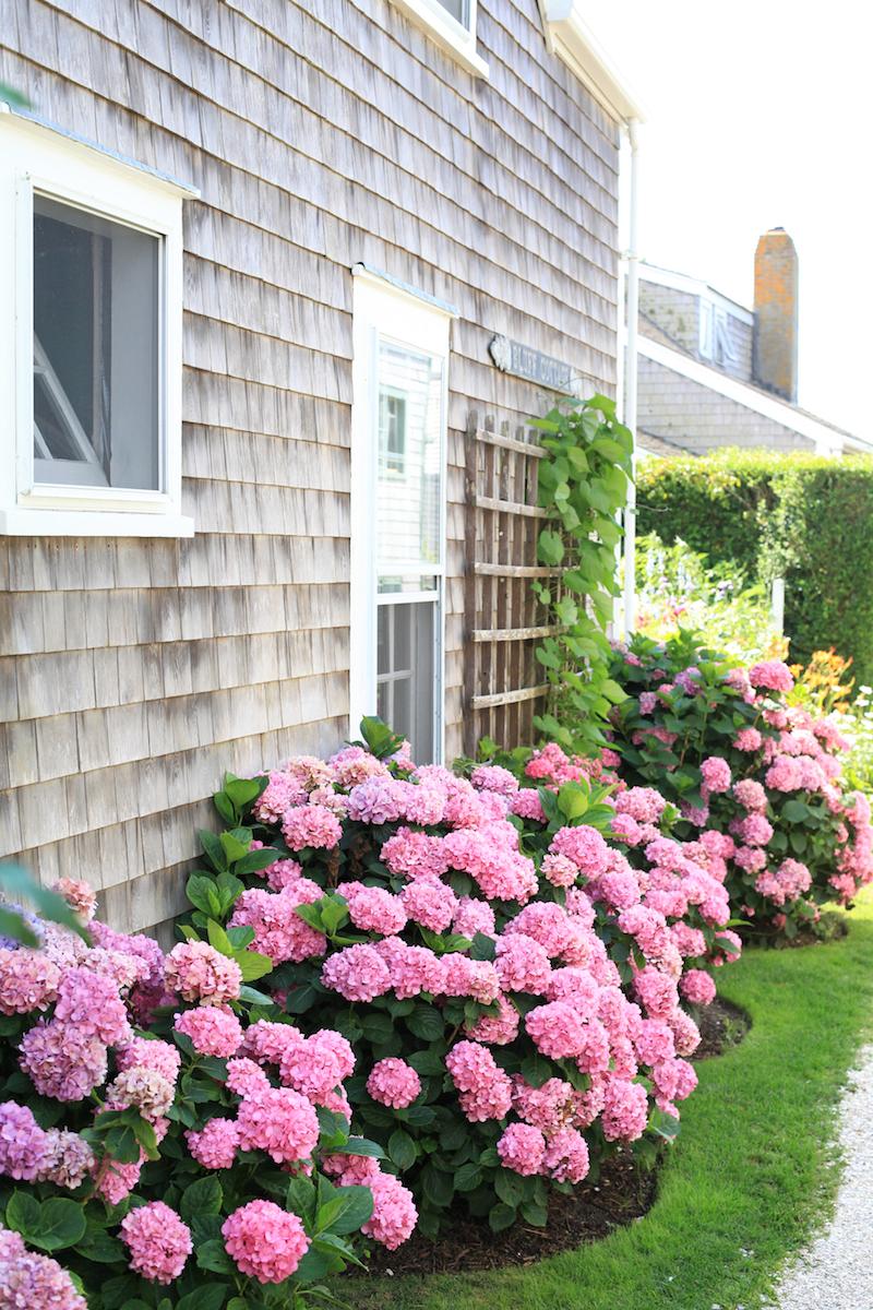 Pink-Hydrangeas.jpg