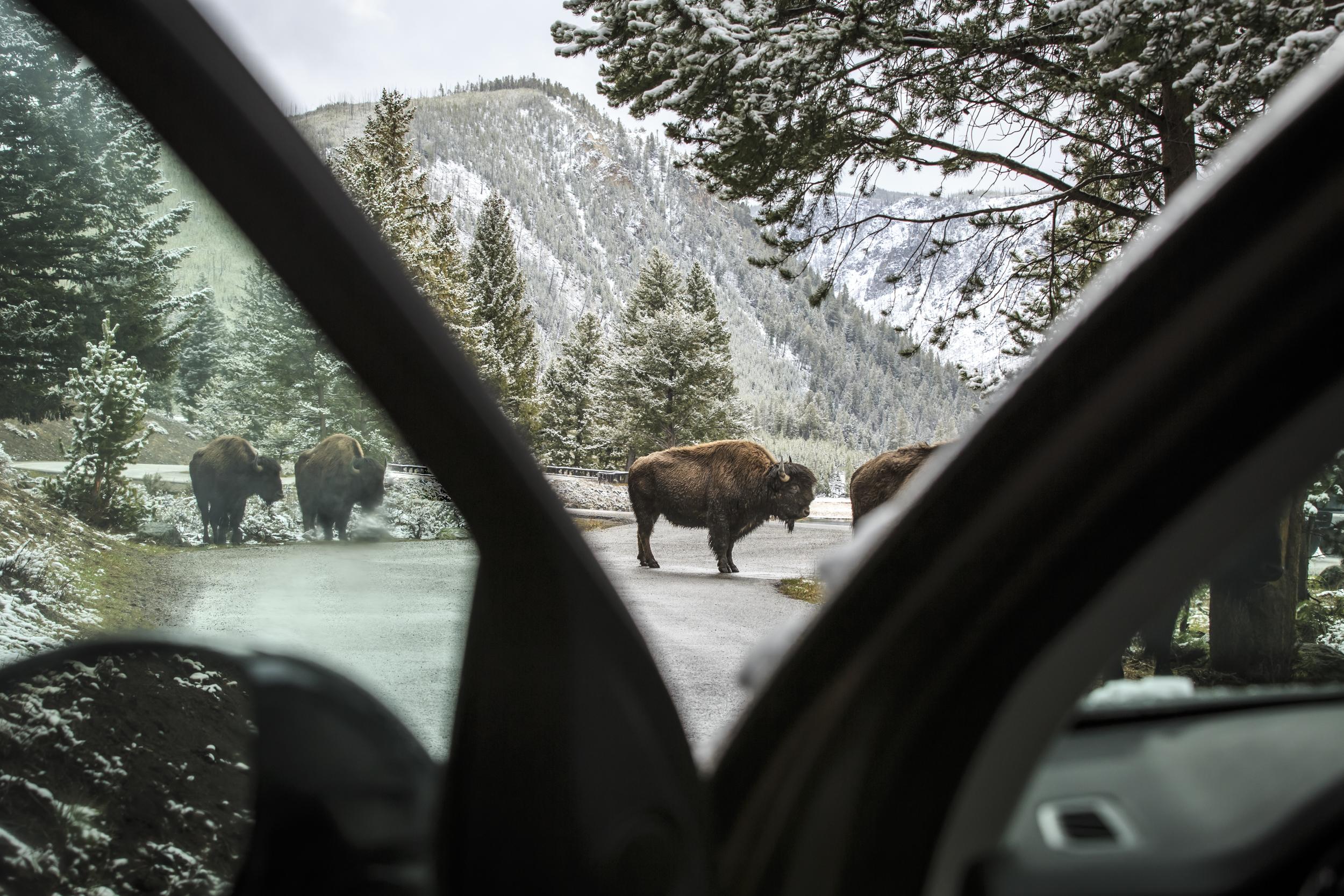 Bison Morning: Landrover