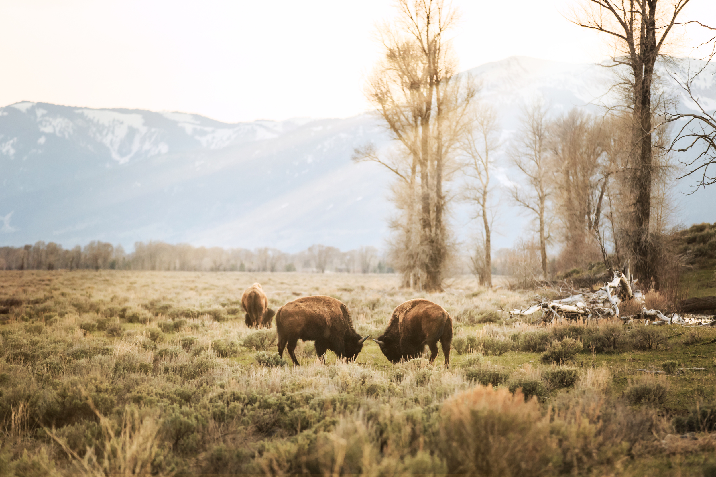 A few bison in a field in Wyoming