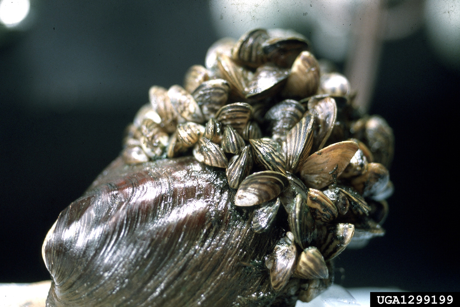 In addition to nutrient pollution, we also spread new species all across the world, like these zebra muscles.