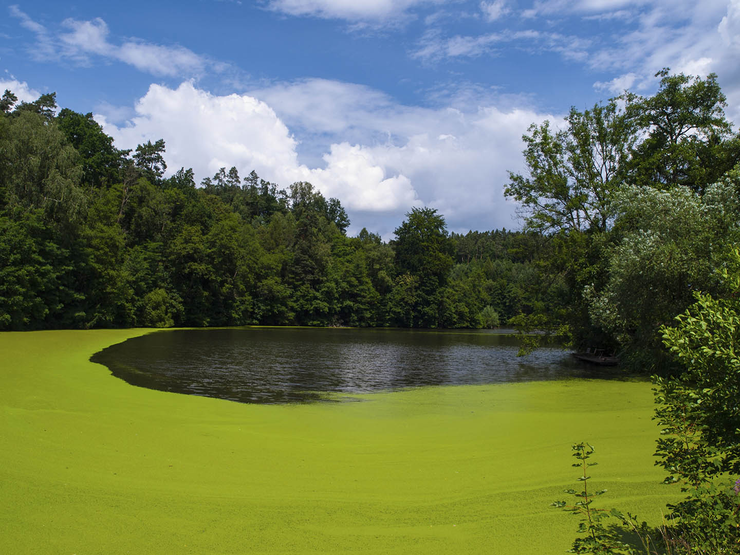 However, most ponds in areas where human live look like this -algae blooming on the water.