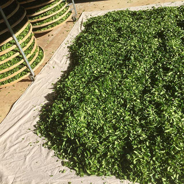 Getting every little bit of the autumn afternoon sun to help wither the fresh #tea leaves.  #arakaiestate #artisantea #australiantea #greentea #blacktea