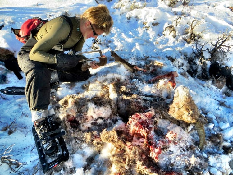 investigating a bighorn sheep killed by an adult female cougar, f109