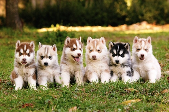 """Pomsky Puppies say: """"But Sean, we don't work at a theatre. We work at a museum, a social service organization, a conservation organization, a hospital, a social justice organization, and a homeless shelter – respectively. What about us?"""""""