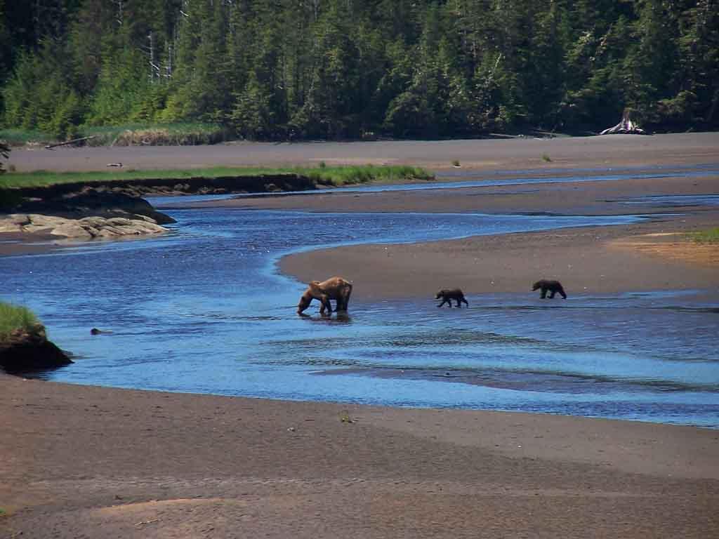 Alaska Coastal Brown Bears Take A Drink