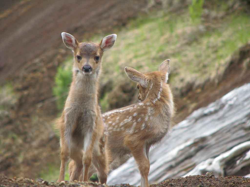 Fawnzi and Bambi