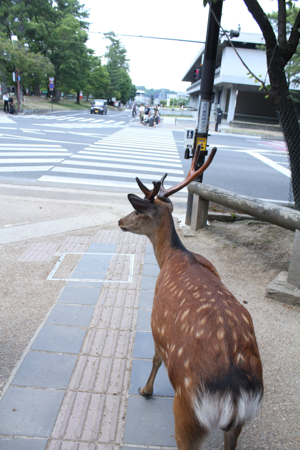 Look left... look right... and look left again. Waiting at the deer/zebra crossing.