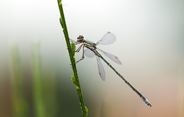 emerald damselfly 2.jpg
