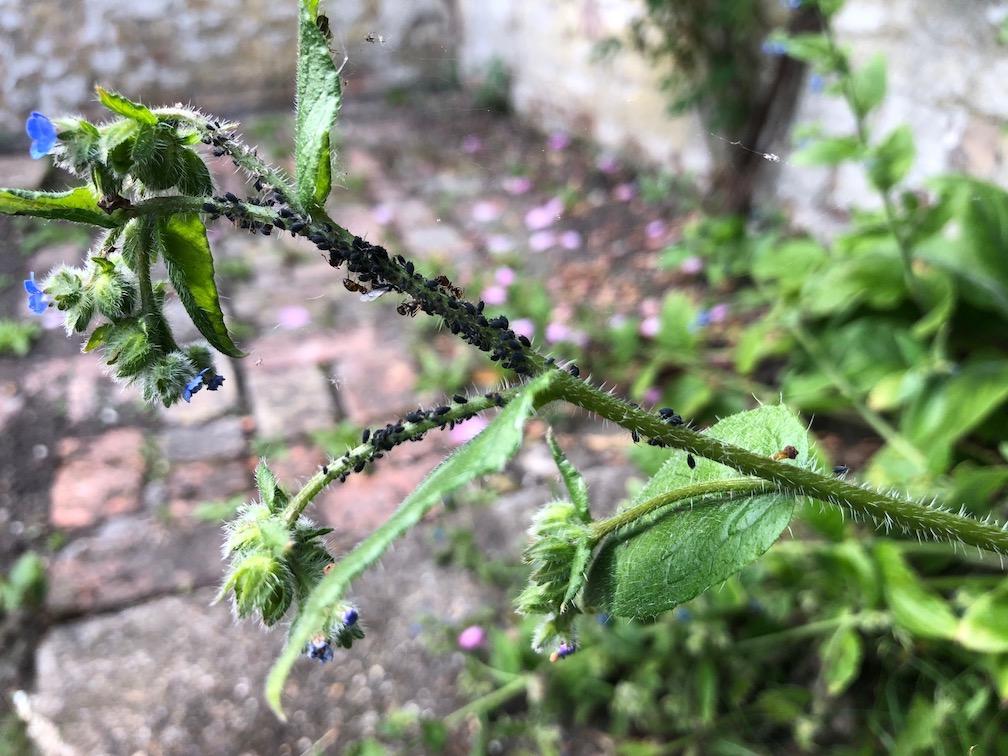 30 days wild black fly