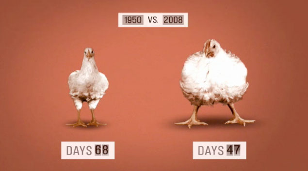 Chickens.  Then and now.