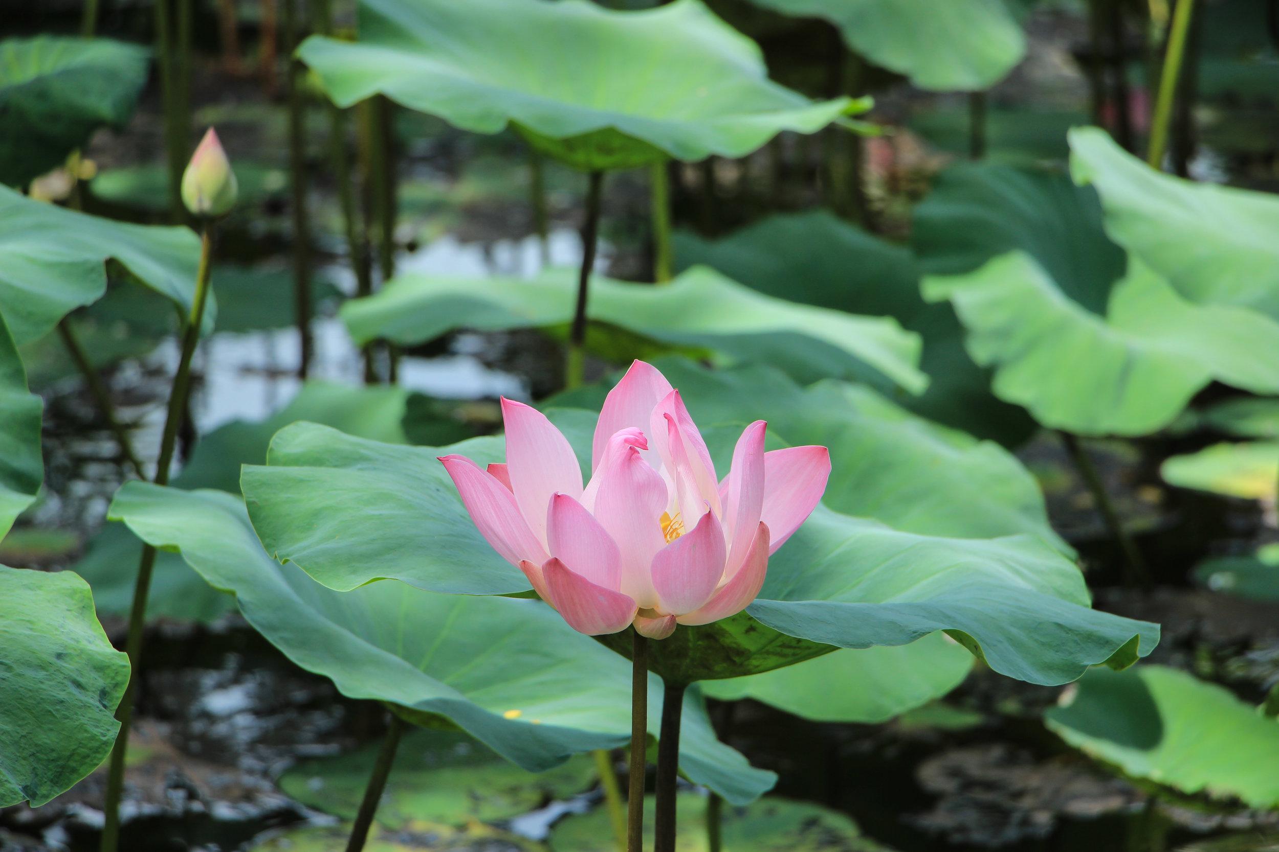 Lotus, Bali, Asia | DoLessGetMoreDone.com |