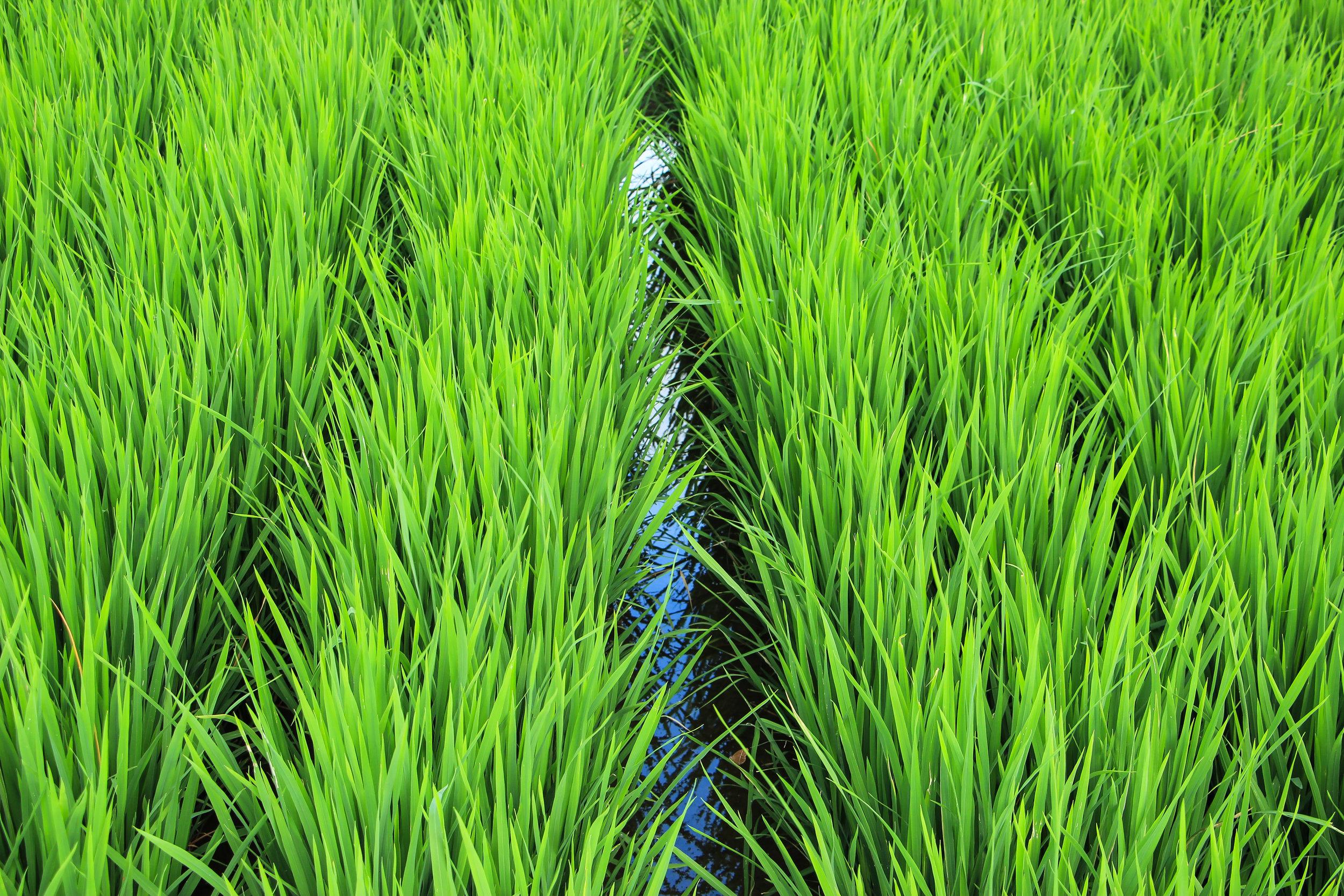 rice field, Bali, Asia | DoLessGetMoreDone.com |