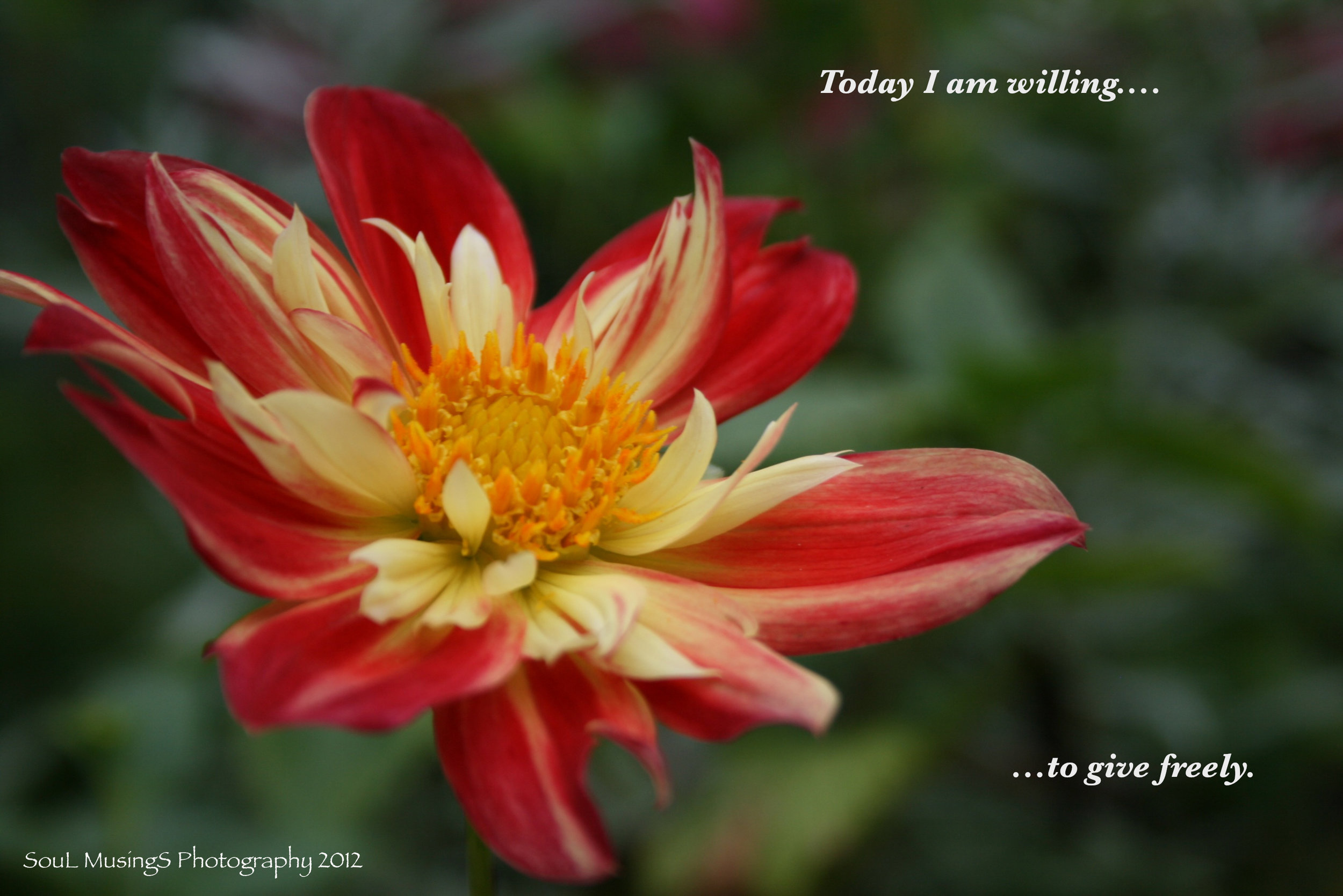 Dahlia_Willing_give freely_labled.jpg