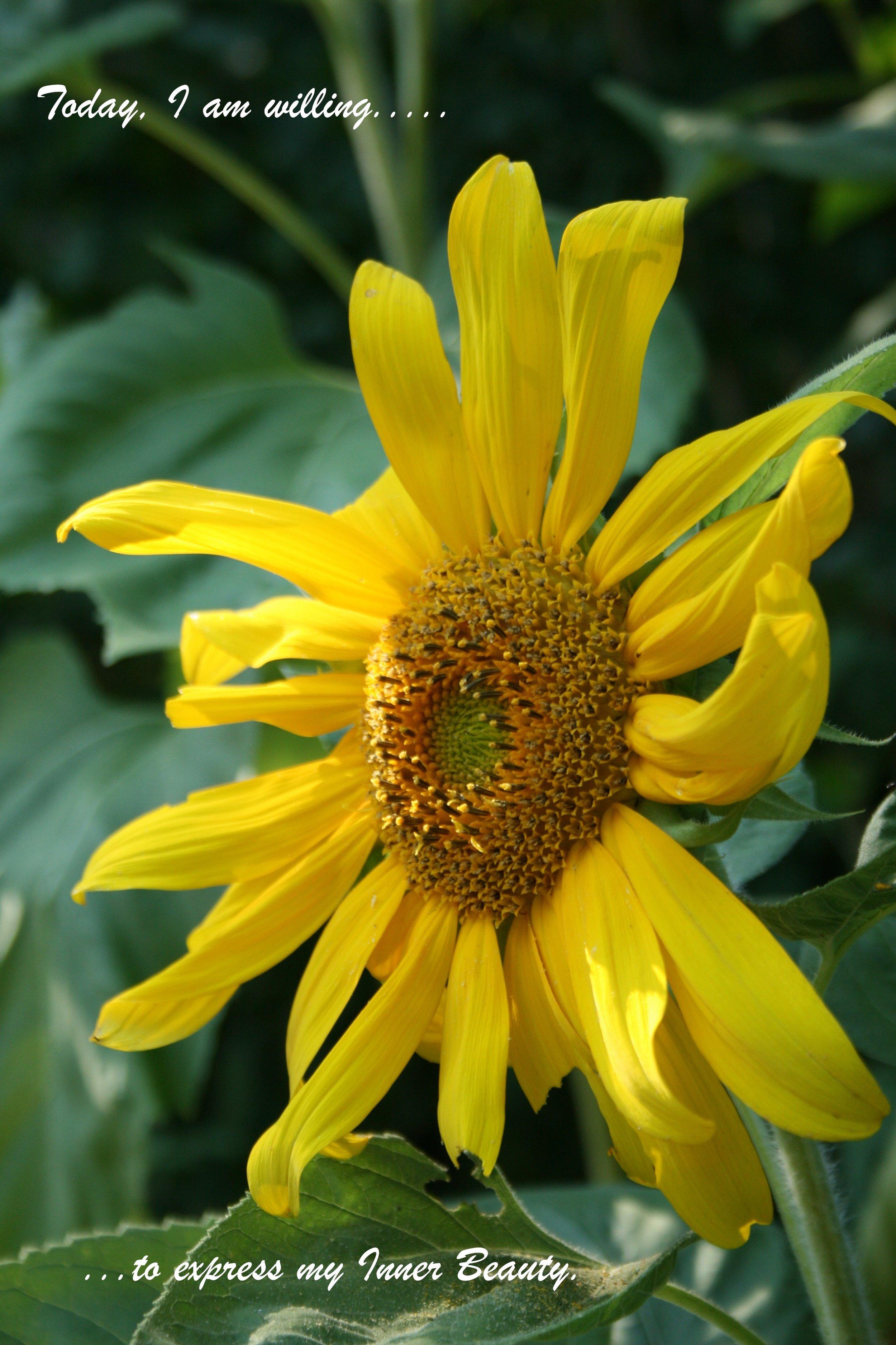 Sunflower_Willing_Express Inner Beauty.jpg