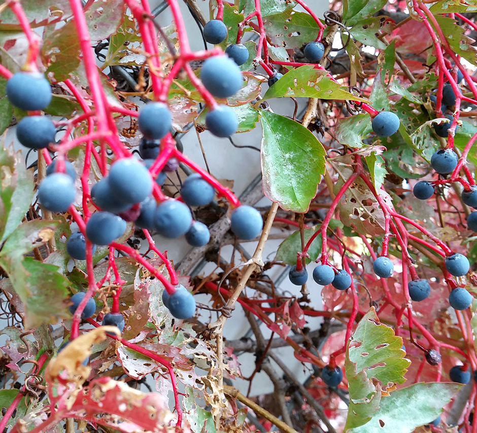Blue colored berries with red stems and green vines hanging off a fence.