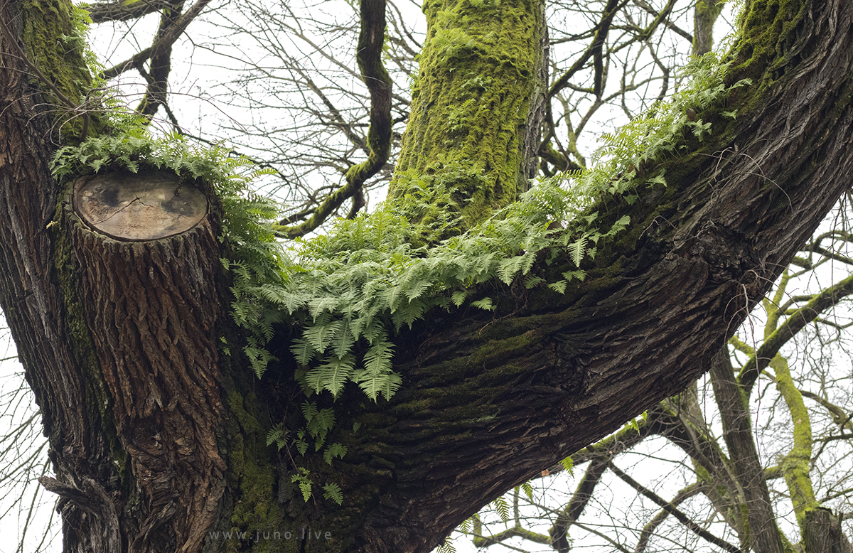 This is a view from below of a tree covered in moss in winter.