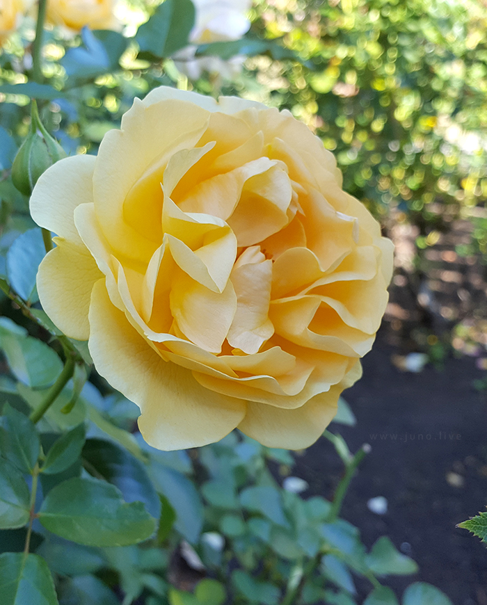 A close up view of a yellow rose flower in bloom in the autumn of 2018.