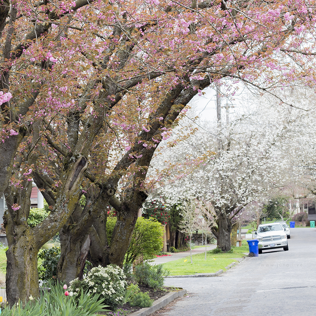 A view of some cherry blossoms and almond blossoms in a neighborhood in downtown Portland, Oregon during the spring season.
