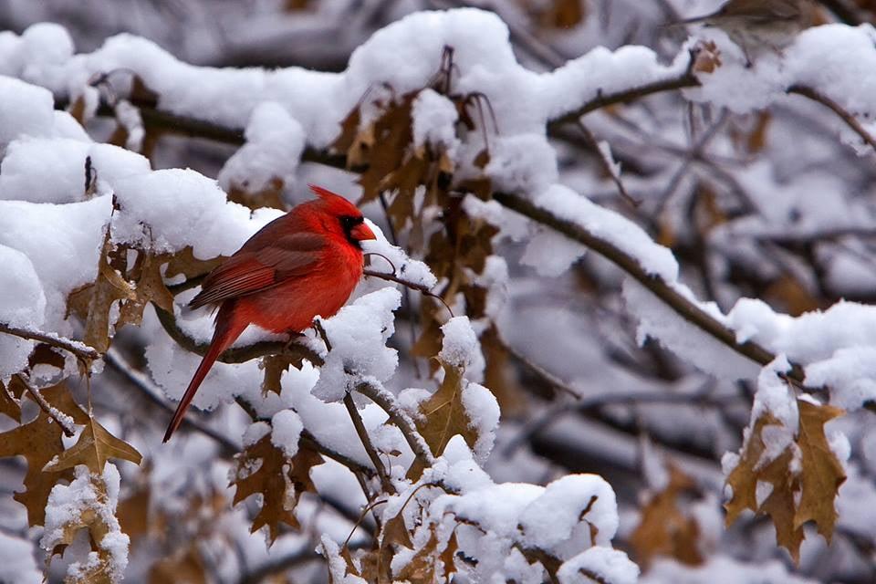 Cardinal (male)