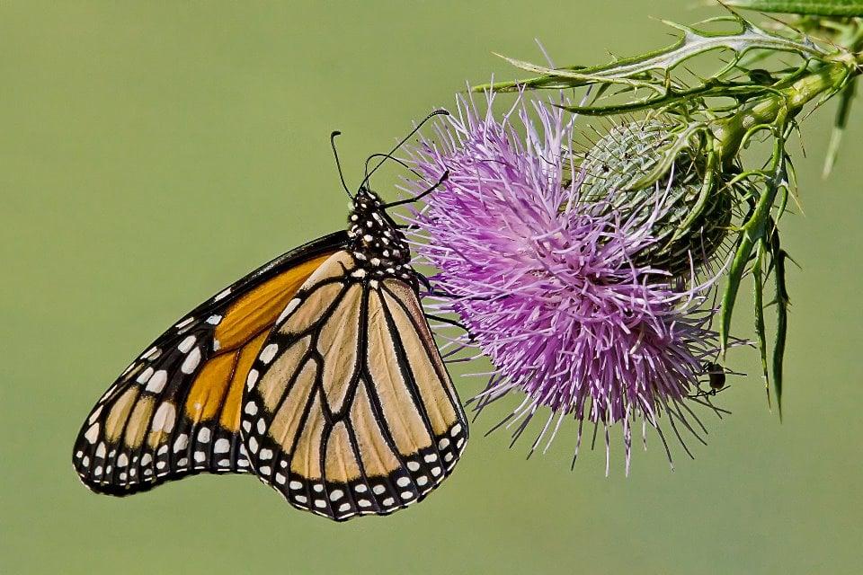 monarchthistle.jpg