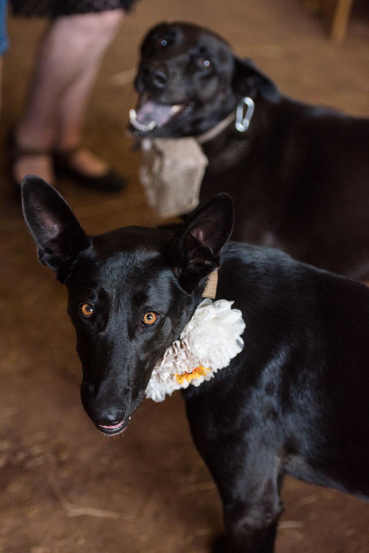 69 dogs sniffing around from dropped kreuz brisket.jpg