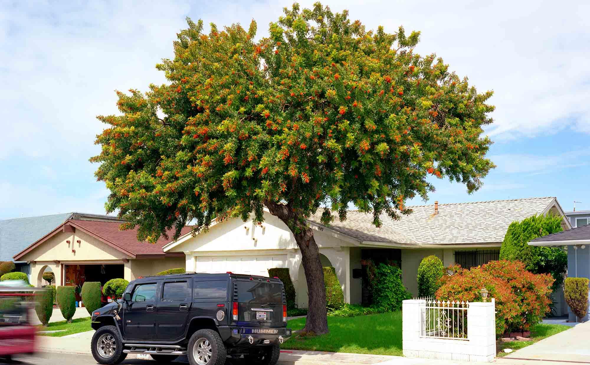 20-Pepper-Tree-#3,-Carson,-2005.jpg