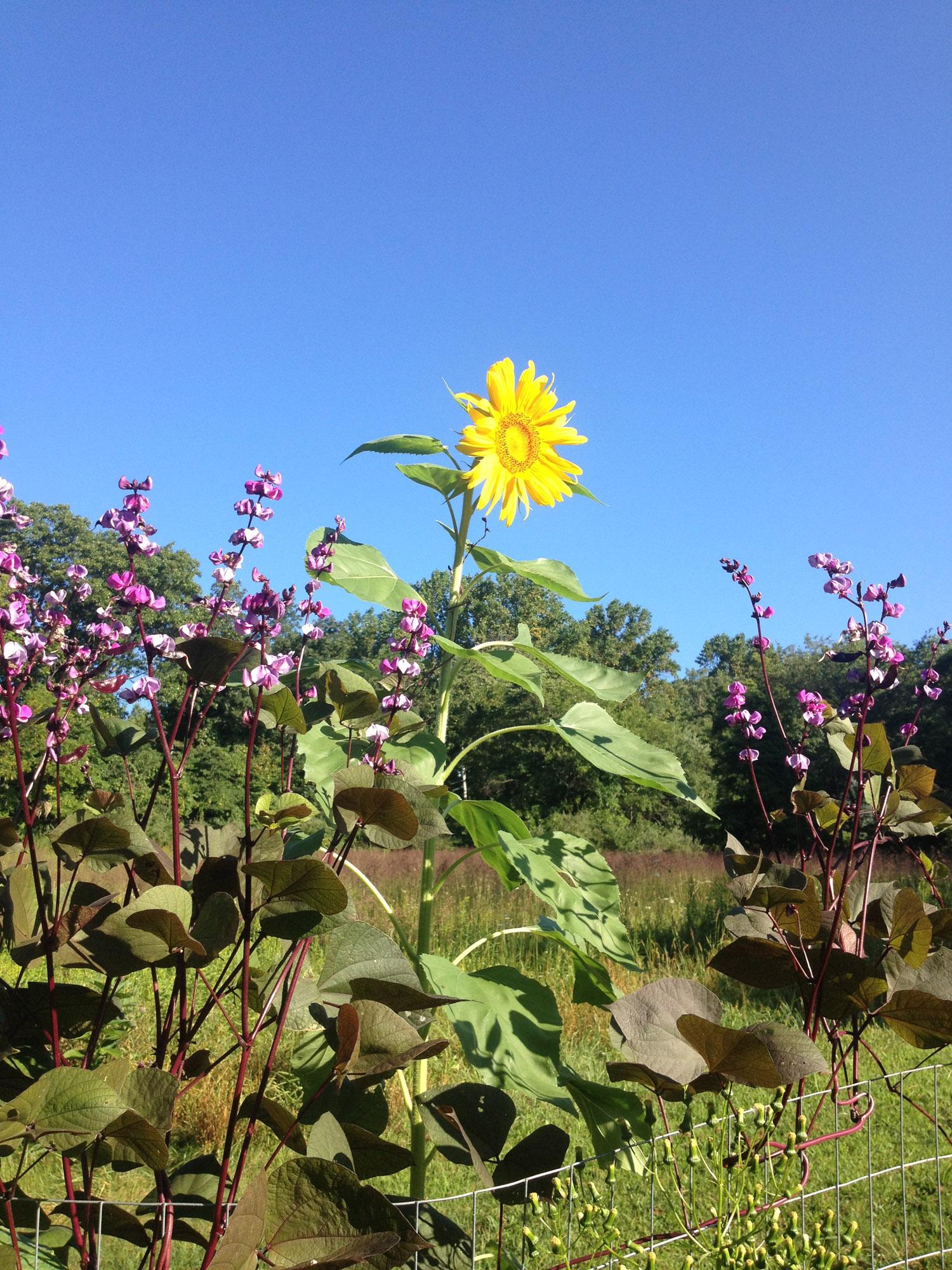 sunflower.web.jpg