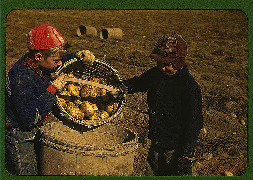 Children gathering potatoes on a large farm, vicinity of Caribou, Maine. Schools do not open until the potatoes are harvested. Photographed by Jack Delano.