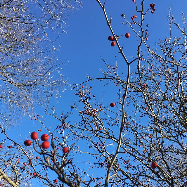 Hawthorn berries! A vv important winter food source for our bird frens. Saw some cedar waxwings chowing down today.