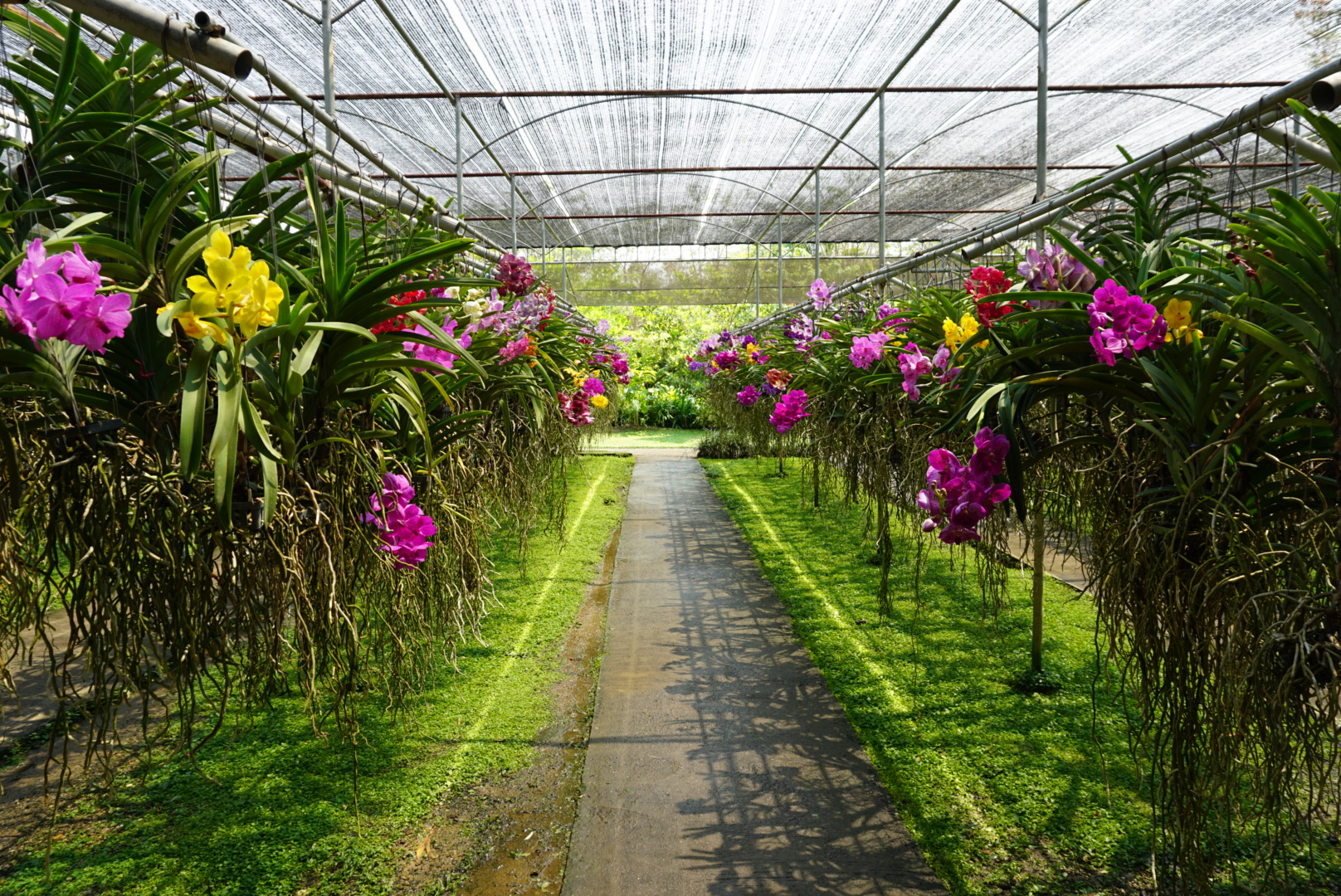 Rows of Vanda Orchids at Bai Orchid and Butterfly Farm