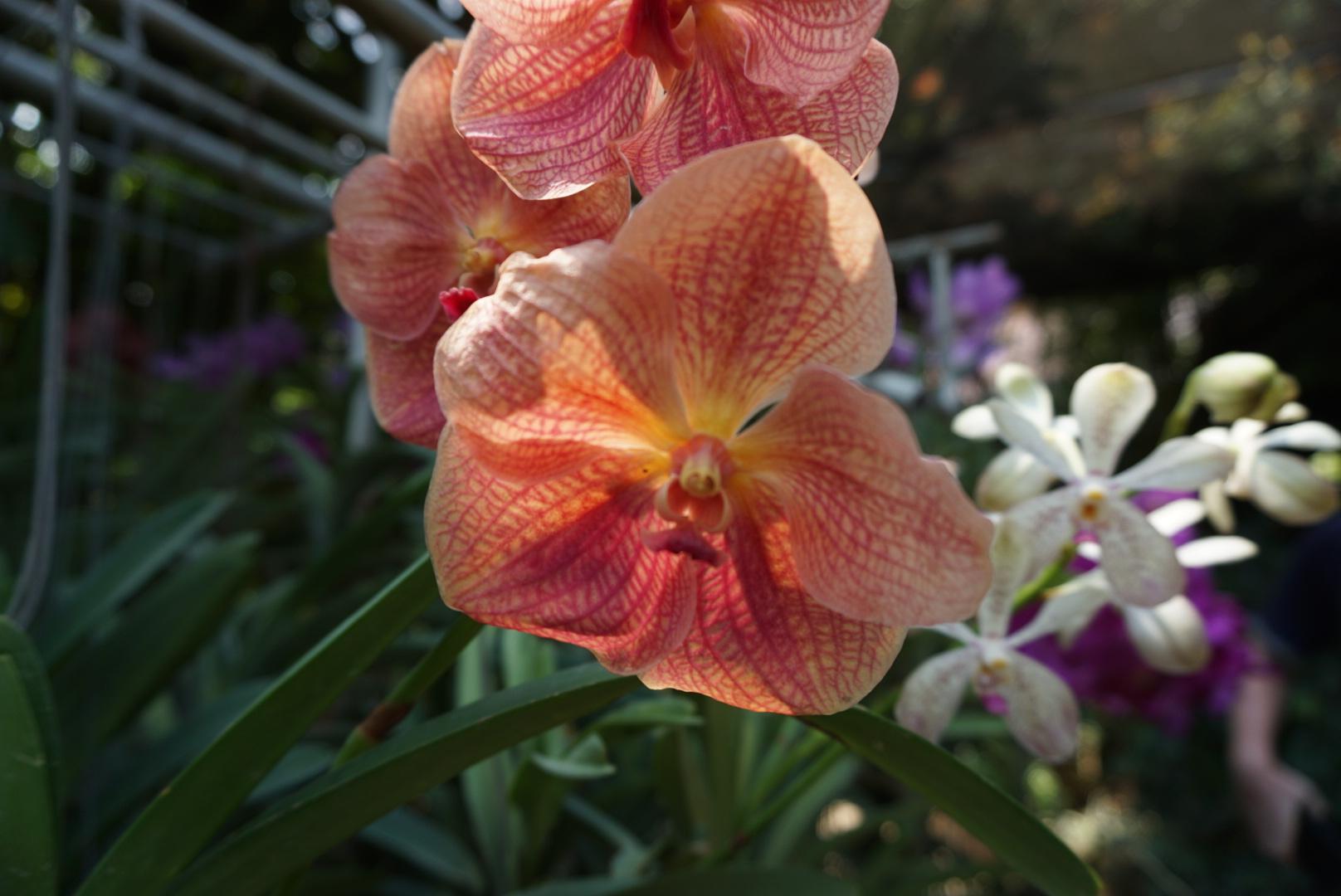 Beautiful Vanda Orchid