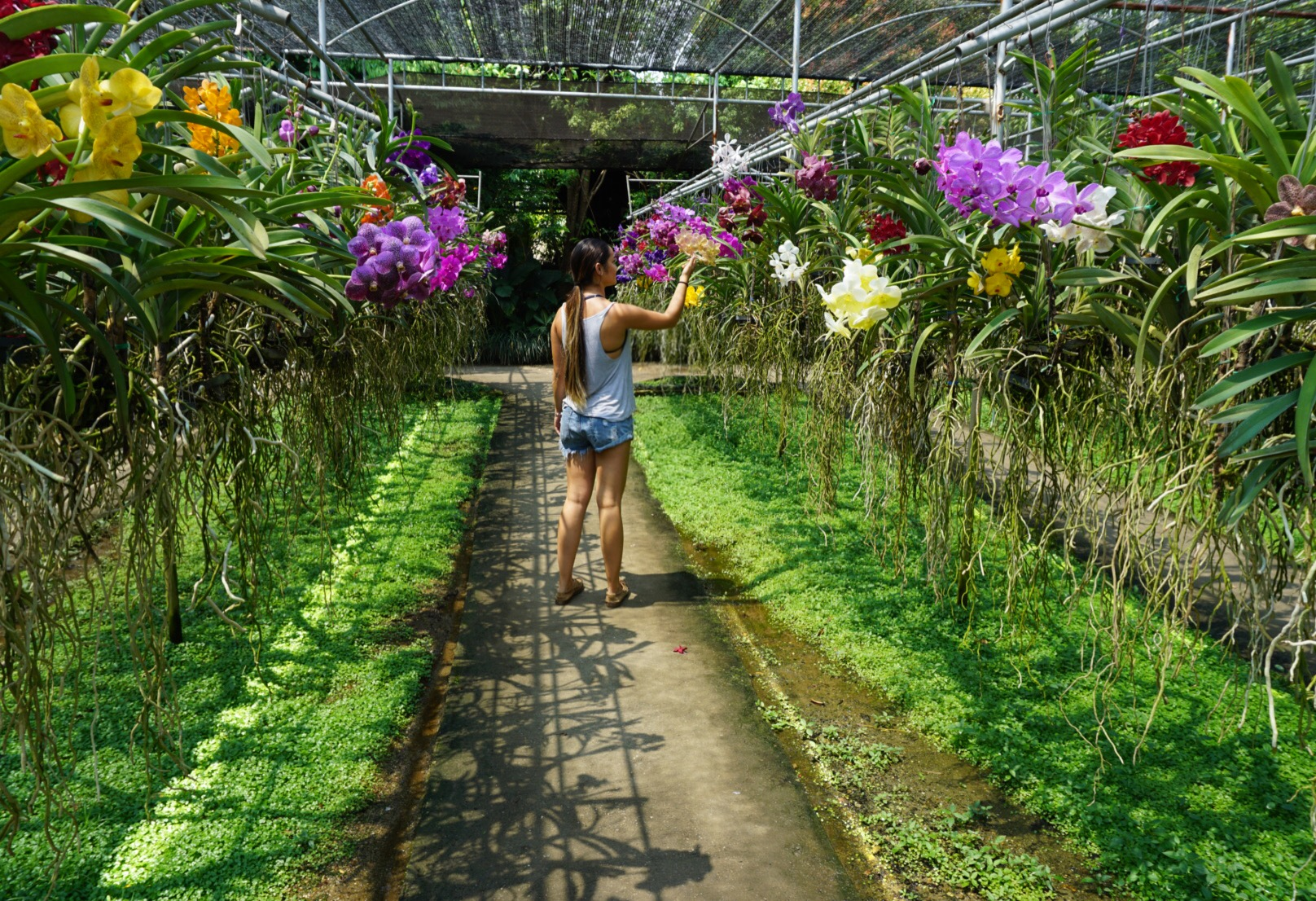 Rows of Vanda'a at Bai Orchid Farm