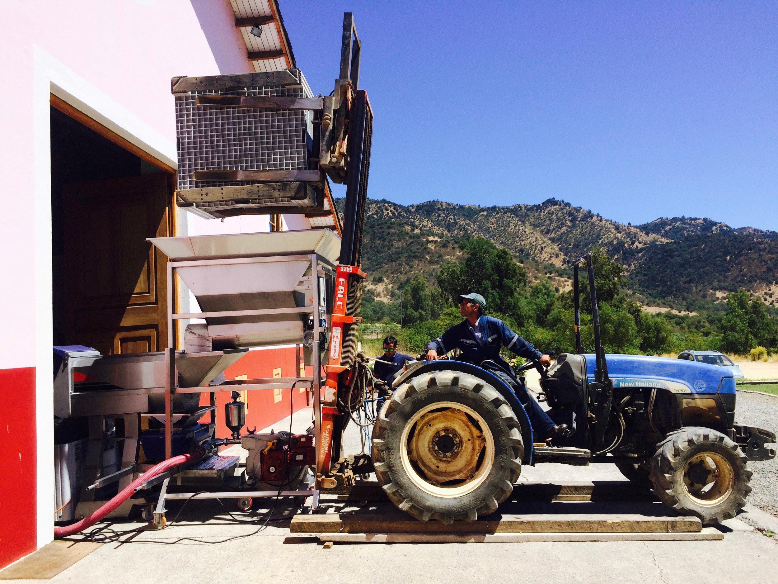 Tractor kiepert druiven in de ontstammer.