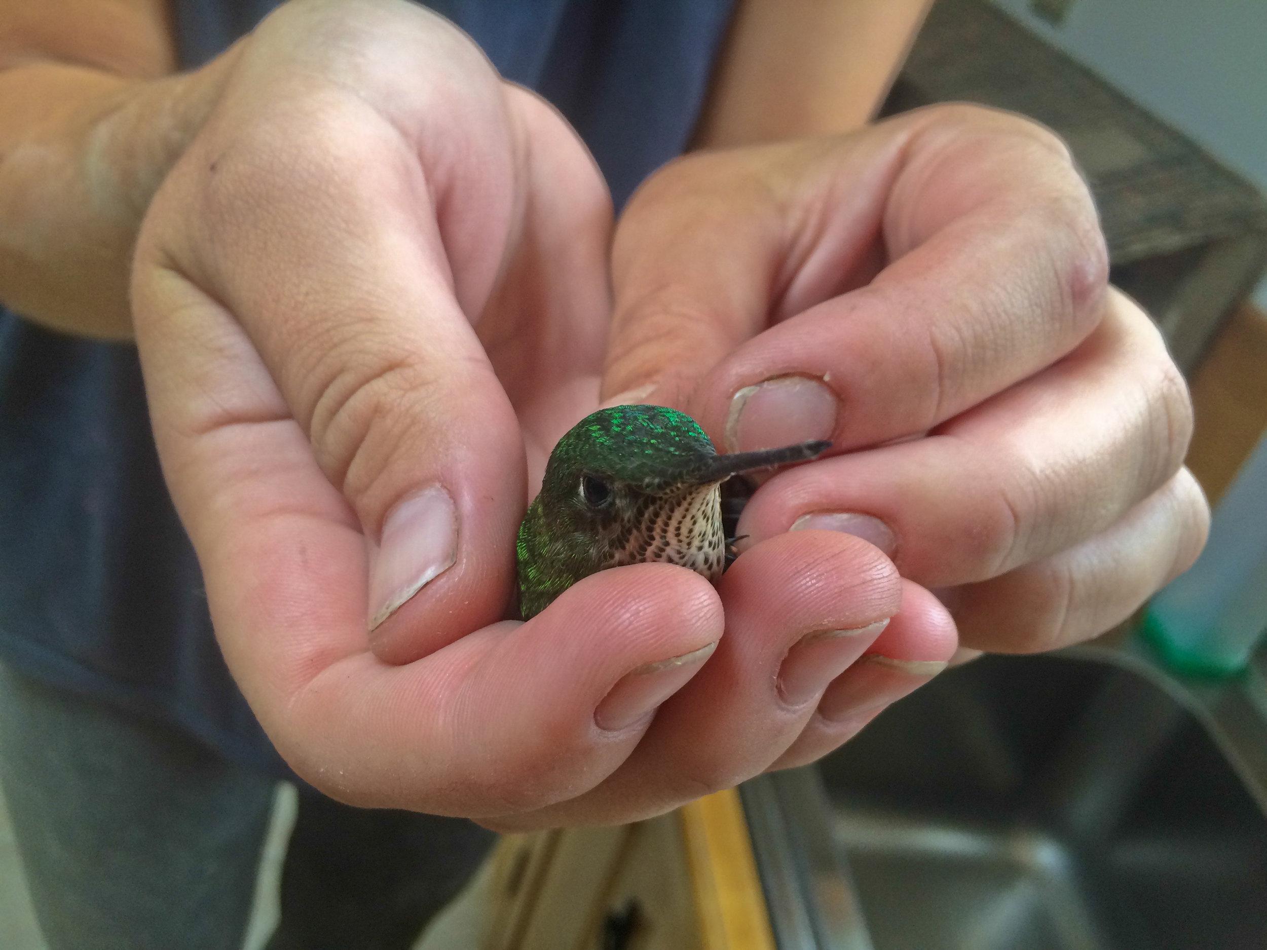 Dido vangt een kolibrie die gevangen zat in de cellar. Dit was voor ons een teken! We laten de kolibrie vrij en later ook onszelf.