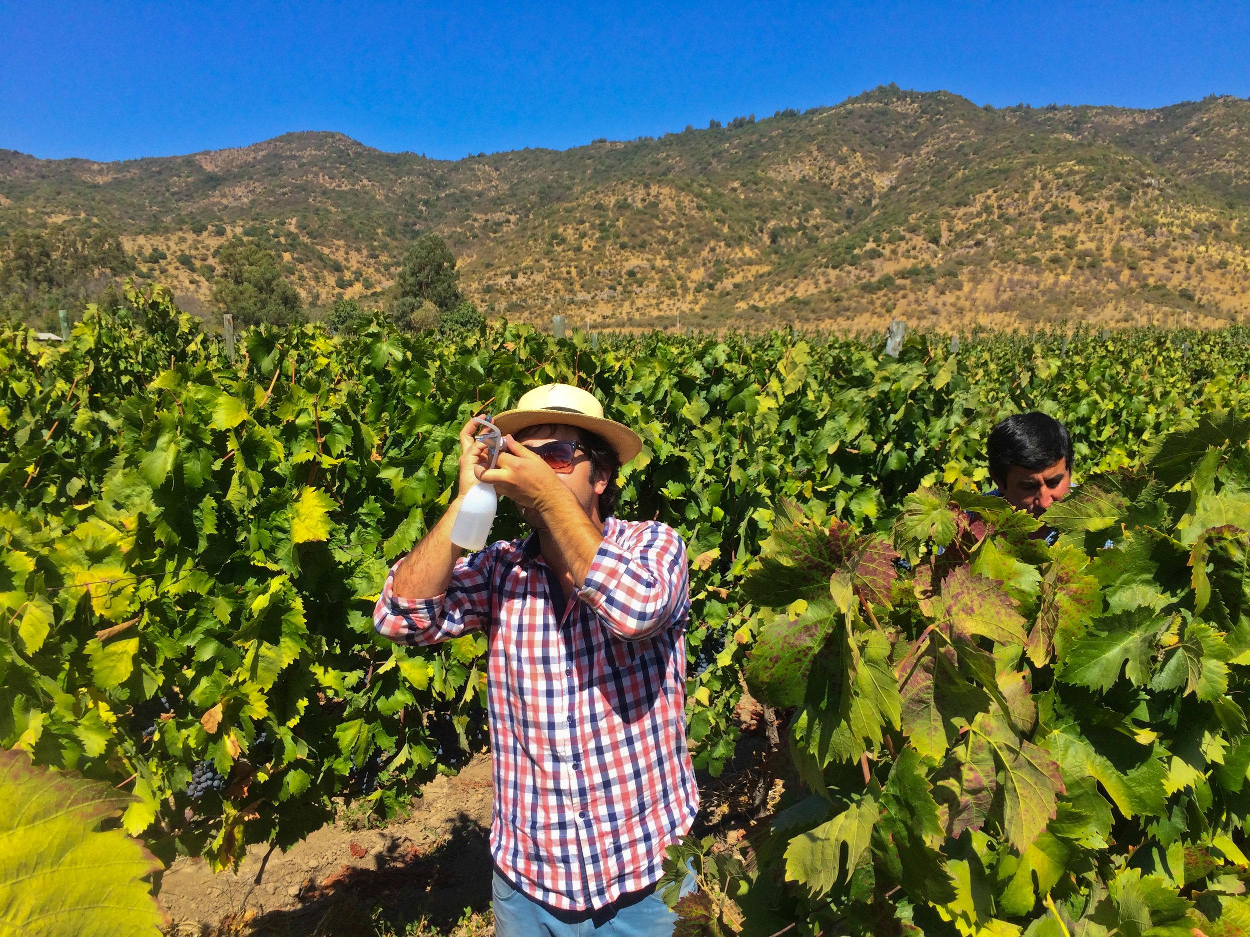 Pancho checkt het suikergehalte van de carignan druiven