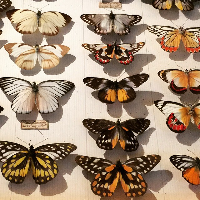 Alfred Russel Wallace butterfly collection