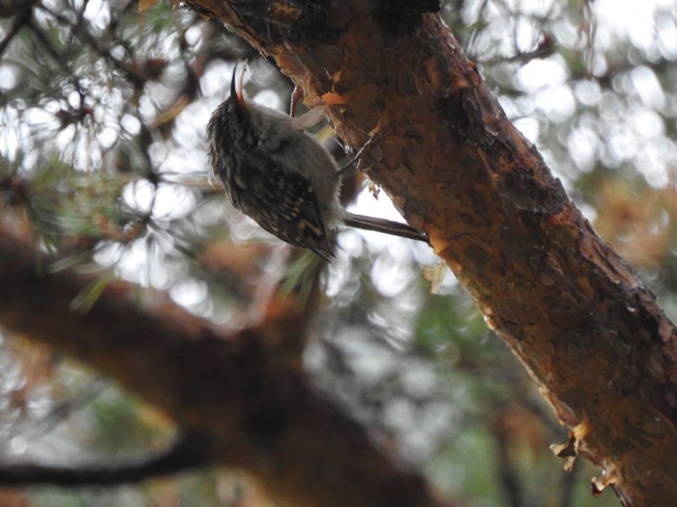 Long-toed treecreeper