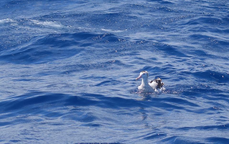 Gibson's wandering albatross