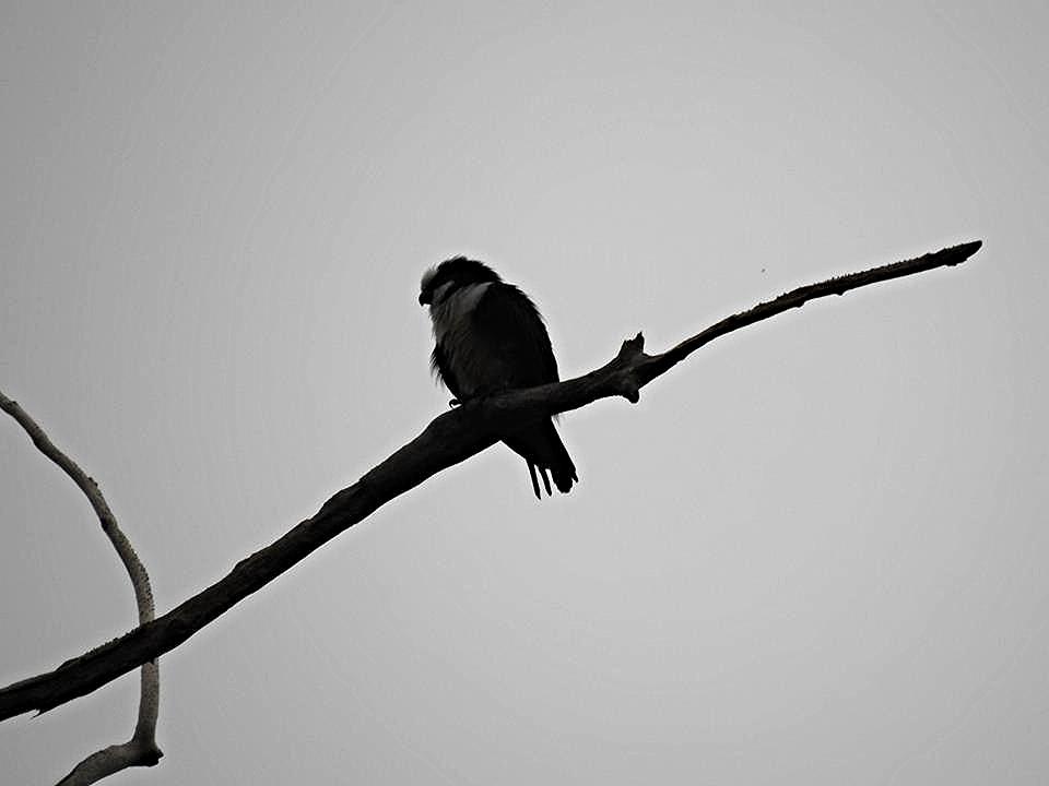 Bornean falconet