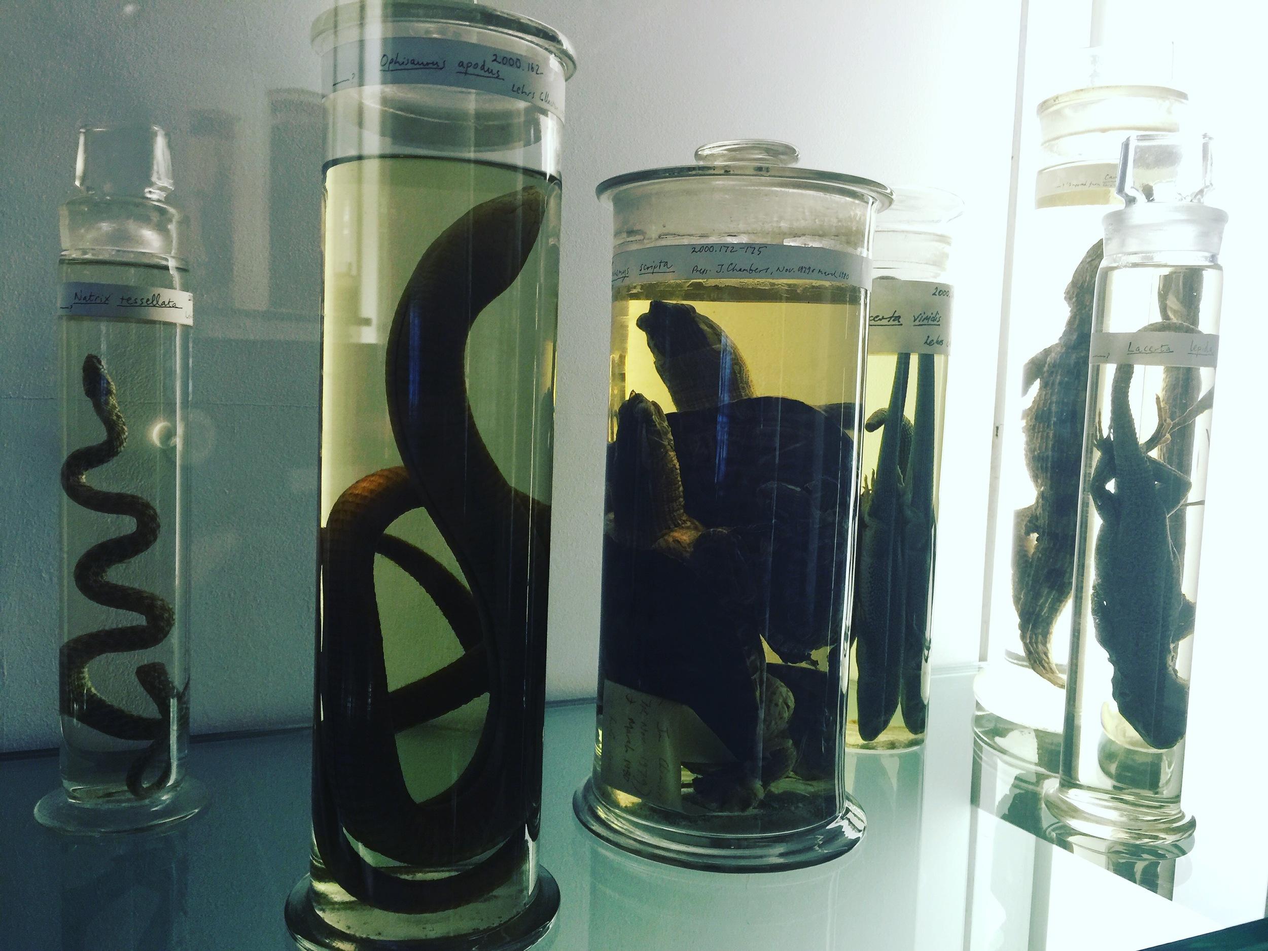 Reptile specimens