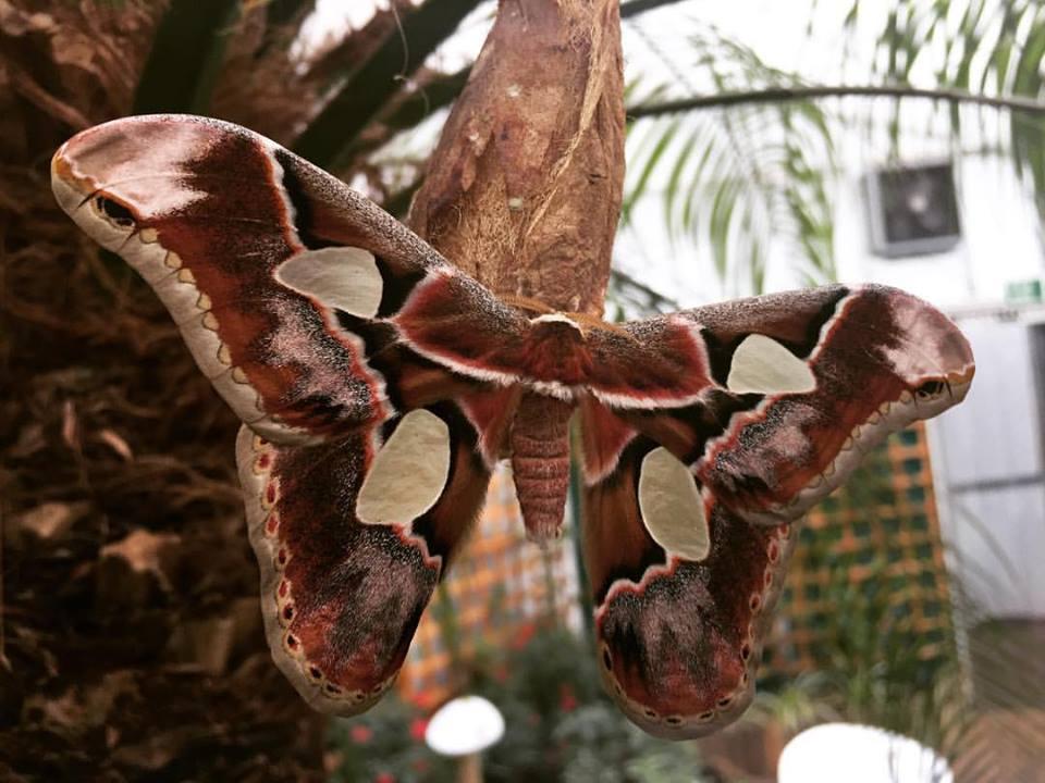 Atlas moth @NHM Sensational Butterflies