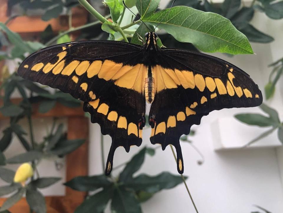 Beautiful butterfly @NHM Sensational Butterflies