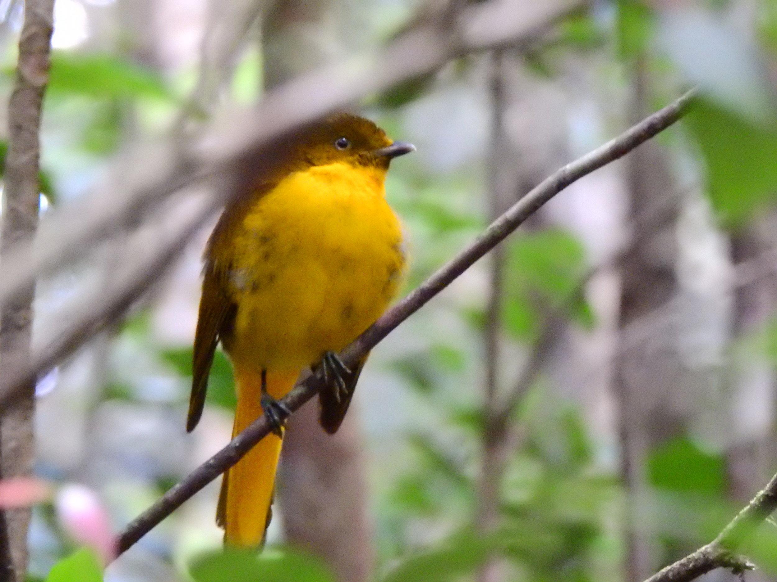 Goldern bowerbird