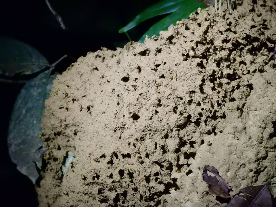 Termites rebuliding their mound