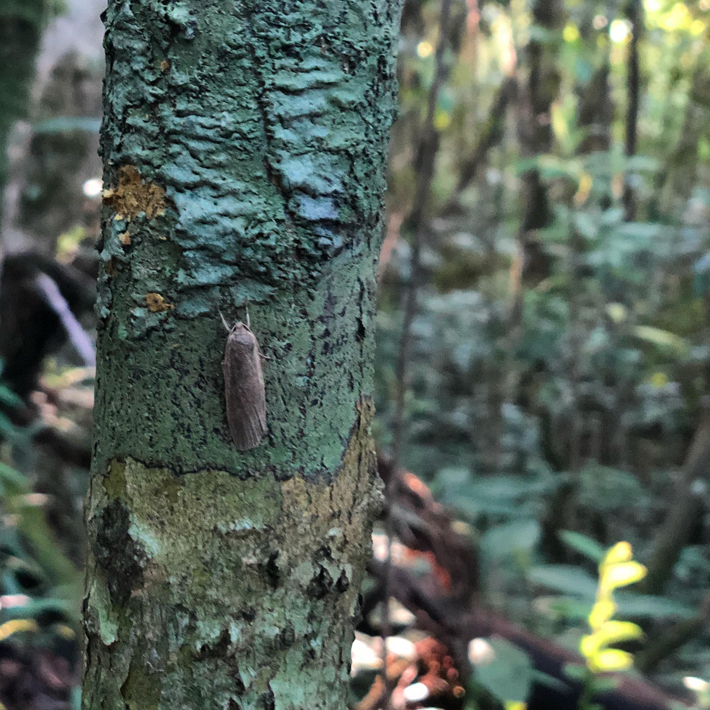 Lithosiinae moth