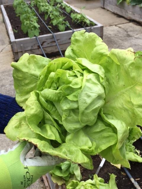 head of lettuce.jpg